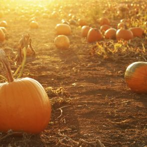 Pumpkins in a field at sunset | MakeItGrateful.com